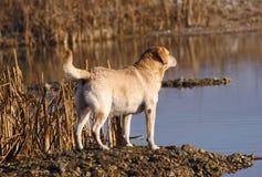 Labrador-Apportierhund Lizenzfreie Stockbilder