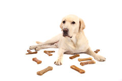 Labrador-Apportierhund lizenzfreie stockfotos