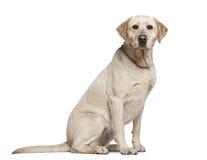 Labrador-Apportierhund, 3 Jahre alt, sitzend stockbild