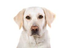 Labrador-Apportierhund Stockfoto