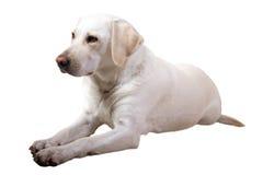 Labrador-Apportierhund Stockbild