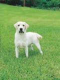 Labrador-Apportierhund stockfotografie