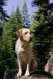 Labrador-Apportierhund Lizenzfreie Stockfotografie