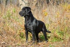 Labrador-Apportierhund auf dem Gebiet Stockfotos
