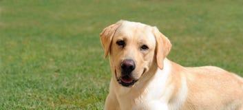 Labrador-Apportierhund auf Gras Stockfoto