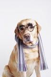 Labrador-Apportierhund, der in einem Schal sitzt Lizenzfreie Stockfotos