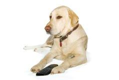 Labrador-Apportierhund, der mit einer Fernsehenentfernten station liegt Lizenzfreies Stockfoto