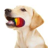 Labrador-Apportierhund mit Kugel Stockfoto