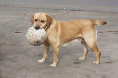 Labrador-Apportierhund mit Kugel Lizenzfreie Stockfotos