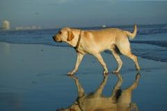 Labrador-Apportierhund am Strand Stockbild
