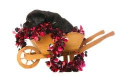 Labrador-Apportierhund Welpe Stockfotografie