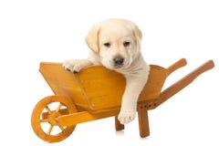 Labrador-Apportierhund Welpe Lizenzfreie Stockbilder