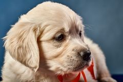 Labrador-Apportierhund Welpe Stockbild