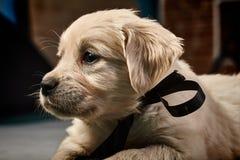 Labrador-Apportierhund Welpe Stockfotos