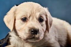 Labrador-Apportierhund Welpe Stockbilder