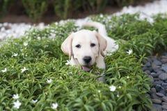 Labrador-Apportierhund Welpe Lizenzfreies Stockbild