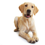 Labrador-Apportierhundhören lizenzfreie stockbilder