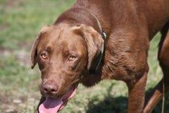 Labrador-Apportierhundjagd Stockfotos