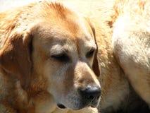 Labrador-Apportierhundnahaufnahme Stockfotos