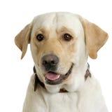 Labrador-Apportierhundsahne Stockfoto