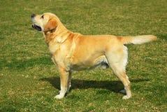 Labrador-Apportierhundstellung Stockfoto