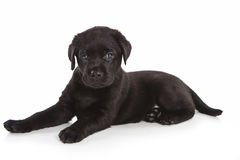 Labrador-Apportierhundwelpe Stockfotografie