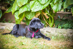 Labrador-Apportierhundwelpe im Yard Stockfotos