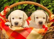 Labrador-Apportierhundwelpen in einem Korb Stockfotografie