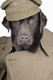 Labrador in Army Uniform Royalty Free Stock Photography