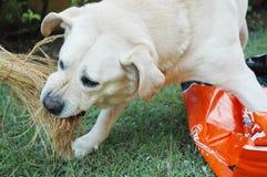 Labrador arrabbiato fotografia stock libera da diritti