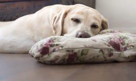 Labrador asleep Royalty Free Stock Photography