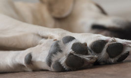 Labrador asleep Stock Images