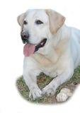 Labrador astuto con il suo osso Fotografie Stock