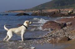 Labrador auf dem Strand Lizenzfreie Stockfotos