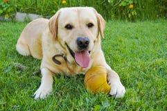 Labrador auf Gras Lizenzfreies Stockbild