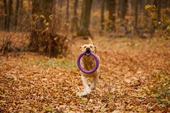 Labrador in autumn forest. Labrador running in autumn forest with yellow leaves Royalty Free Stock Photography