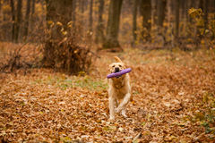 Labrador in autumn forest. Labrador running in autumn forest with yellow leaves Royalty Free Stock Image