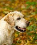Labrador In autumn leaves. Royalty Free Stock Image