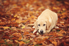 Labrador In autumn leaves. Dog chews branch of a tree in the park Stock Image