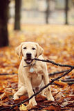Labrador In autumn leaves. Dog chews branch of a tree in the park Royalty Free Stock Photography