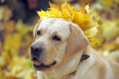 Labrador In autumn leaves Royalty Free Stock Images