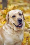 Labrador In autumn leaves Royalty Free Stock Photo