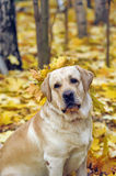 Labrador In autumn leaves Royalty Free Stock Photography