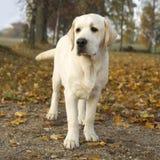 Labrador Autumn park Royalty Free Stock Images