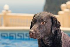 Labrador av simbassängen Arkivfoton