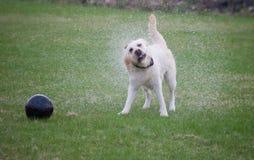 Labrador bagnato Immagine Stock Libera da Diritti