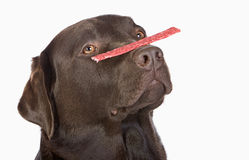 Labrador Balancing a Treat on his Nose Royalty Free Stock Images