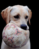 Labrador and ball. Cute labrador puppy holding a ball in her mouth Stock Image