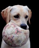Labrador and ball Stock Image