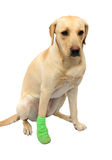 Labrador with bandaged foot. Cute little labrador with a bandaged leg on white royalty free stock image